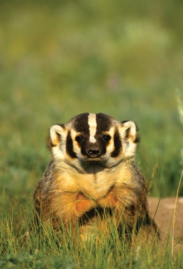 Badger, Graham Osborne
