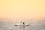 Trumpeter Swans, Preserved Light Photography
